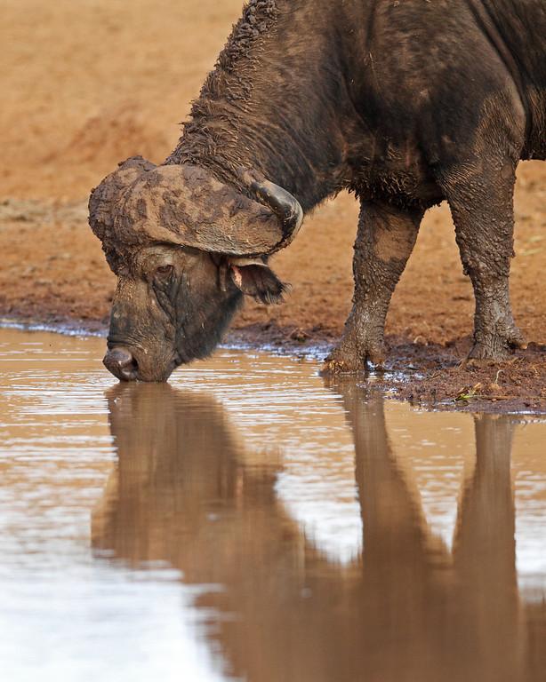 cape buffalo at the watering hole, Ark Tree Lodge, Kenya
