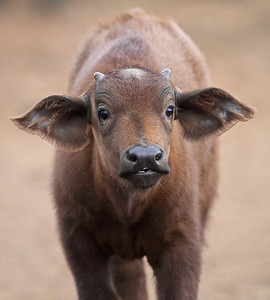 cape buffalo baby, Ark Tree Lodge, Kenya
