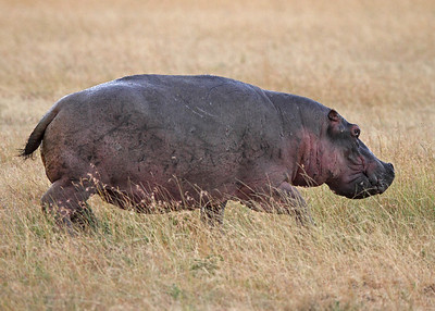 hippo, on the run, Masai Mara National Reserve, Kenya