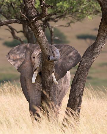 elephant shaking the tree, Masai Mara National Reserve, Kenya