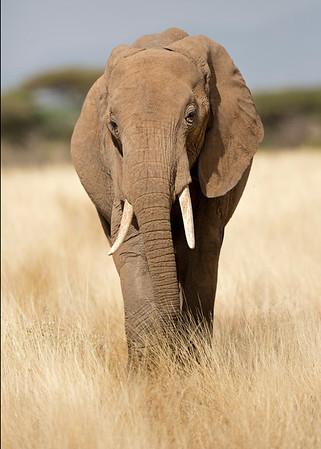 elephant, Samburu National Reserve, Kenya