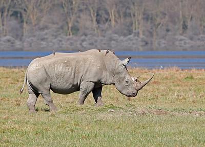 black rhino with passengers in front of Lake Nakuru, Kenya