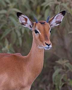 young impala, Lake Nakuru National Park, Kenya