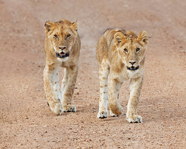 pair of youg lions on the road, Masai Mara National Reserve, Kenya