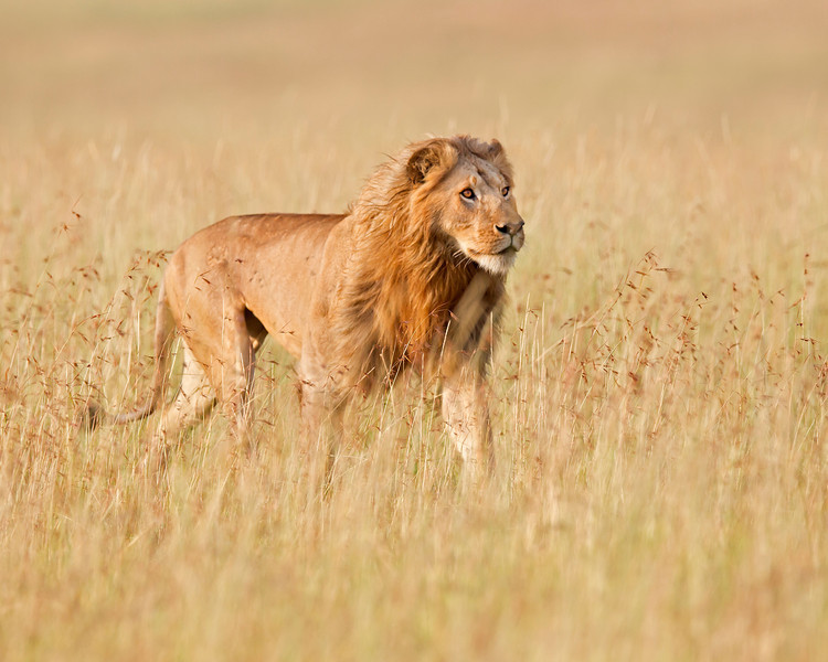 lion king, Masai Mara National Reserve, Kenya