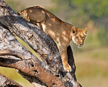 lion descending from tree, Masai Mara National Reserve, Kenya