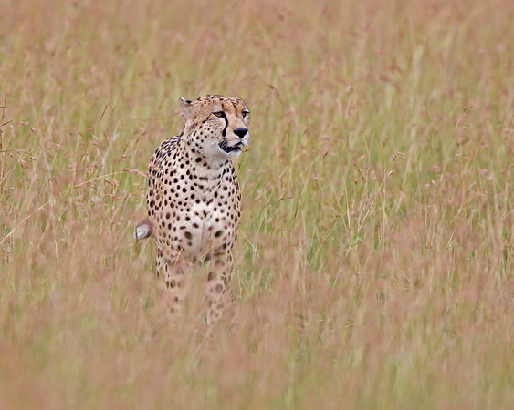 cheetah hunting, Masai Mara National Reserve, Kenya