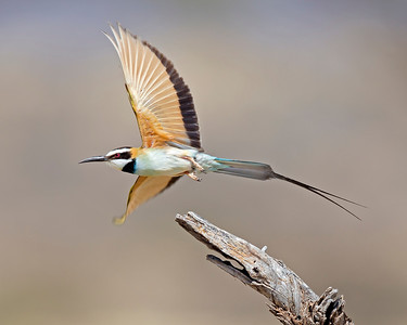 white-throated bee-eater, Samburu National Reserve, Kenya