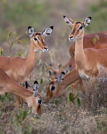 impala females grazing, Lake Nakuru National Park, Kenya