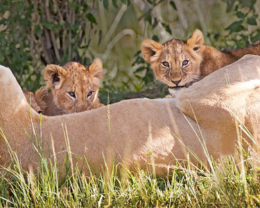 lion cubs nursing, Masai Mara National Reserve, Kenya