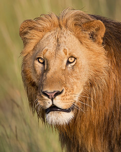 lion portrait, Masai Mara National Reserve, Kenya