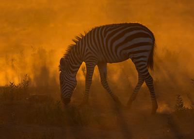 common zebra at sunrise, Amboseli National Park, Kenya