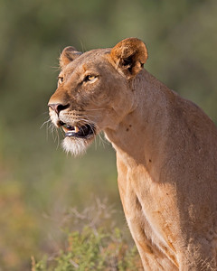 lioness scanning the horizon, Samburu National Reserve, Kenya