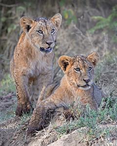 lion cubs after crossing a stream, Lake Nakuru National Park, Kenya