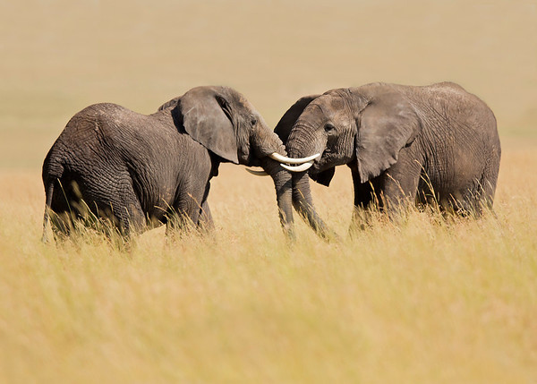 african elephants at play, Masai Mara National Reserve, Kenya