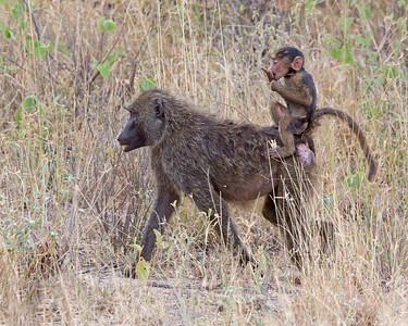 young baboon catching a ride, Samburu National Reserve, Kenya