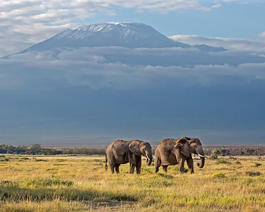 elephant pair in front of Mount Kilimanjaro, Amboseli National Park, Kenya