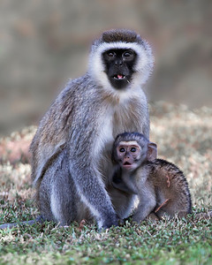 black faced vervet monkey and baby, maybe I should have been looking behind me, Amboseli National Park, Kenya