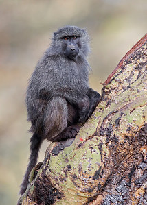 common baboon, Lake Nakuru National Park, Kenya