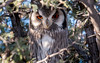 (R 397) Southern White-faced Scops Owl