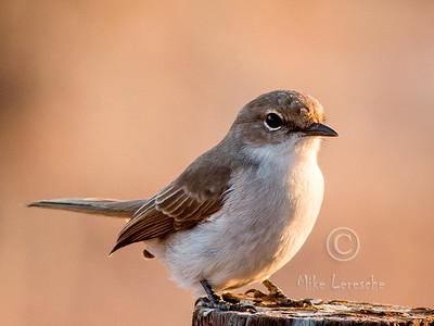 (R 695) Marico Flycatcher