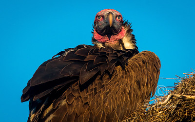 (R 124) Lappet-faced Vulture