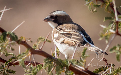 (R 799 ) White-browed Sparrow-weaver