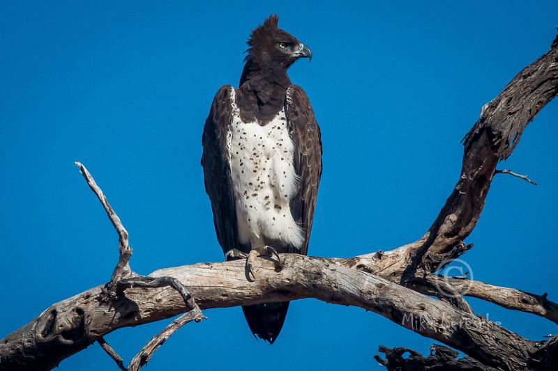 (R 140) Martial Eagle