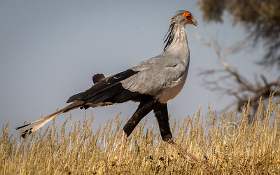 R 158 Secretary Bird