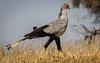 (R 158) Secretary Bird