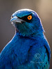 (R 764) Cape Glossy Starling