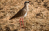 (R 255) Crowned Lapwing (Plover)