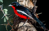 (R 739) Crimson-breasted Shrike