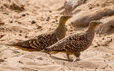 (R 344) Namaqua Sandgrouse