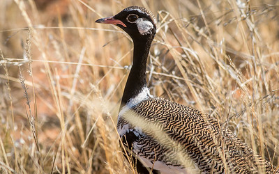 (R 239b) Northern Black Korhaan (m)