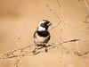 (R 803) Cape Sparrow (m)