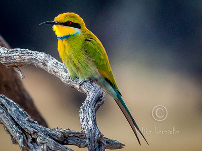 R 445 Swallow-tailed Bee-eater