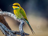 (R 445) Swallow-tailed Bee-eater