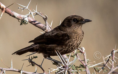 (R 595) Anteating Chat