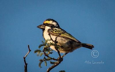 (R 465) Acacia Pied Barbet