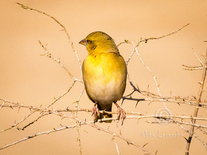 (R 814) Southern Masked-weaver (f)