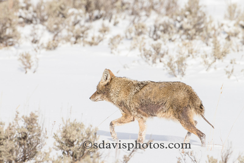 Coyote (suffering from mange)