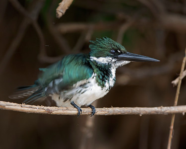 Green Kingfisher captured in Pantanal, Brazil,  Kingfisher shaking the water off it's feathers after diving for a fish.