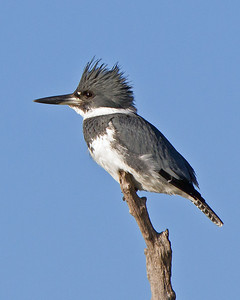 Belted-Kingfisher-Merritt Island Wildlife Refuge