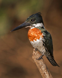 Green Kingfisher ~ Picture captured in Pantanal, Brazil.