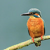 Kingfisher (Apr 2014)
