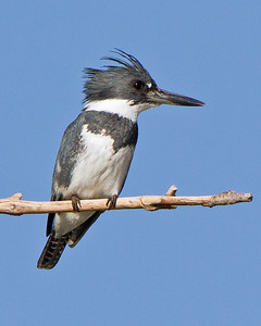 Belted Kingfisher Female ~ Merritt Island Wildlife Refuge