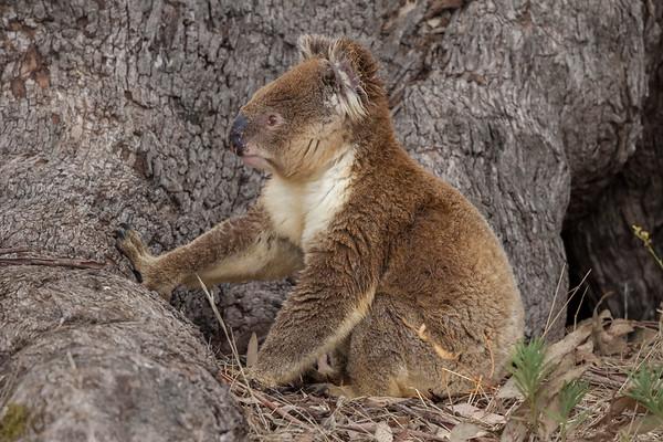 Koala (Phascolarctos cinereus) - Mikkira Station (Sleaford), South Australia
