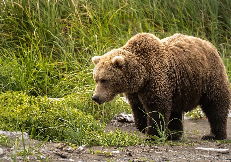 Large female brown bear.