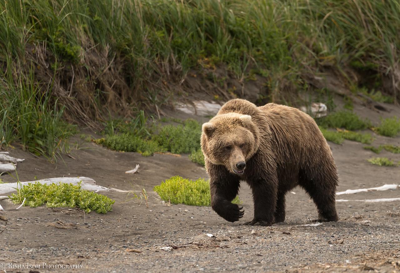 Female brown bear.